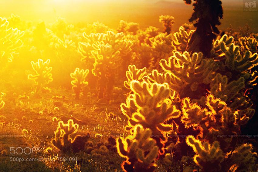 Photograph Golden Cholla Cactus Garden by Nhut Pham on 500px
