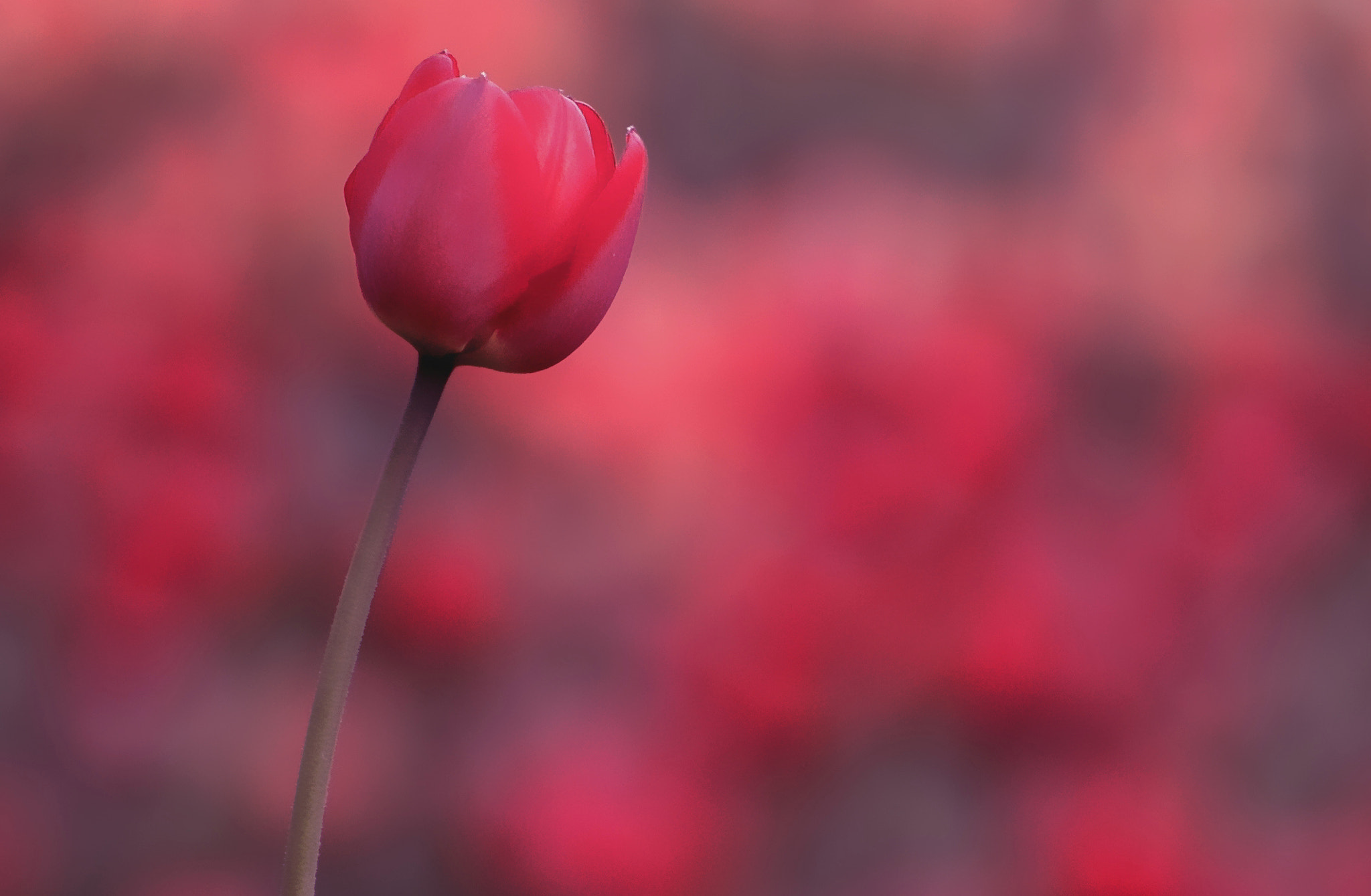 Photograph tulipart by Tom M. on 500px