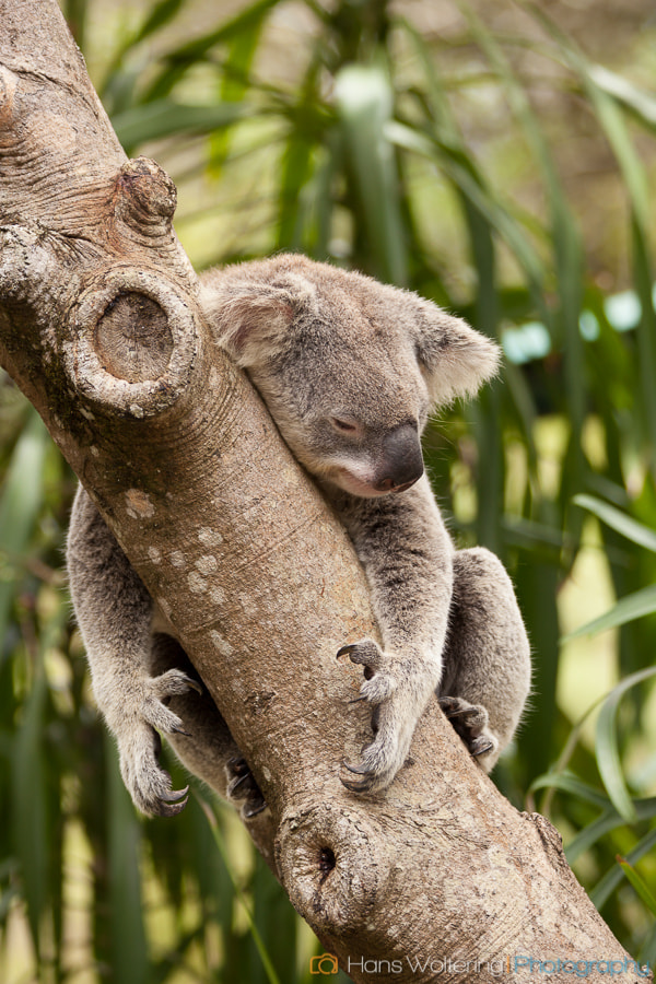 Photograph Lazy Koala by Hans Woltering on 500px