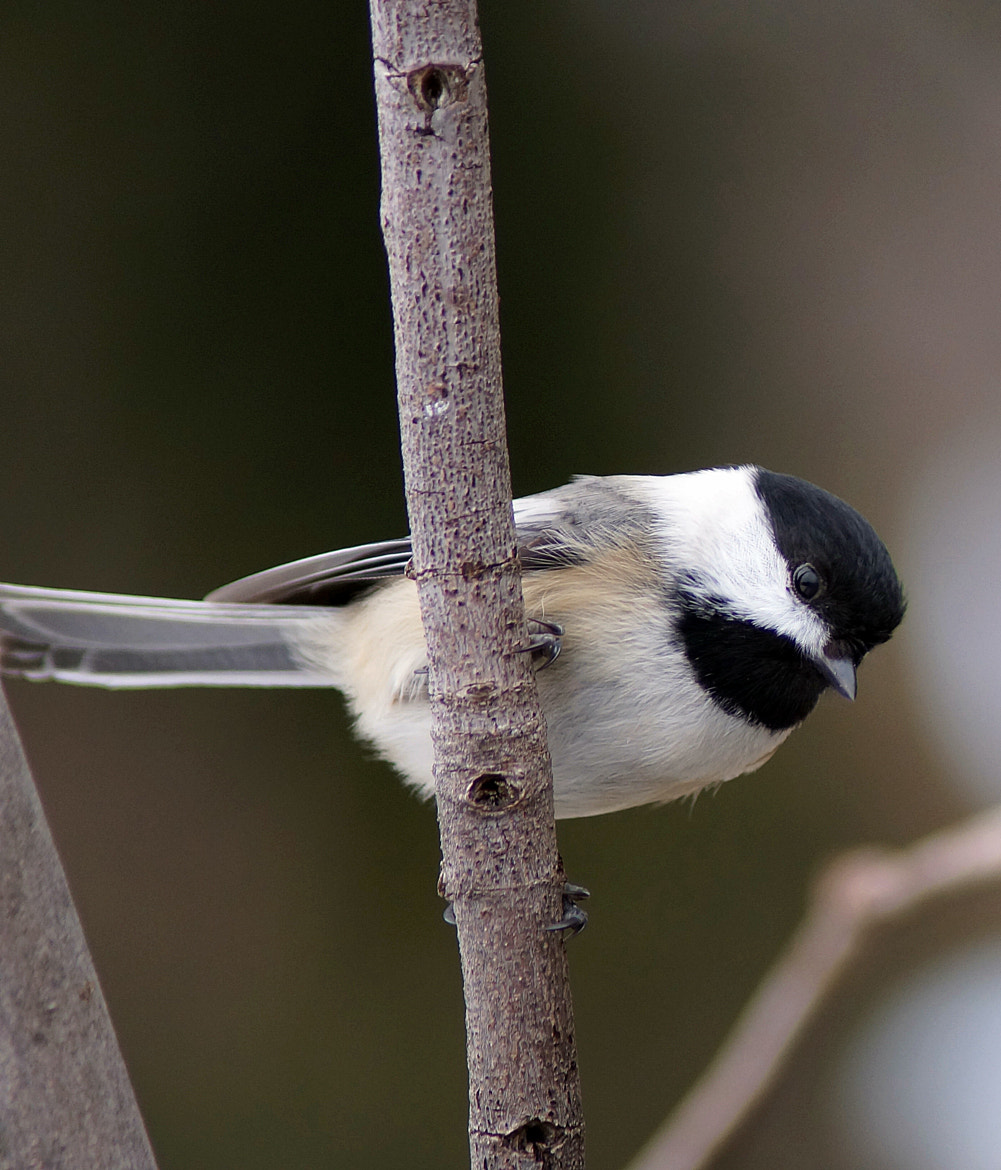 Photograph Chickadee by Cherylorraine Smith on 500px
