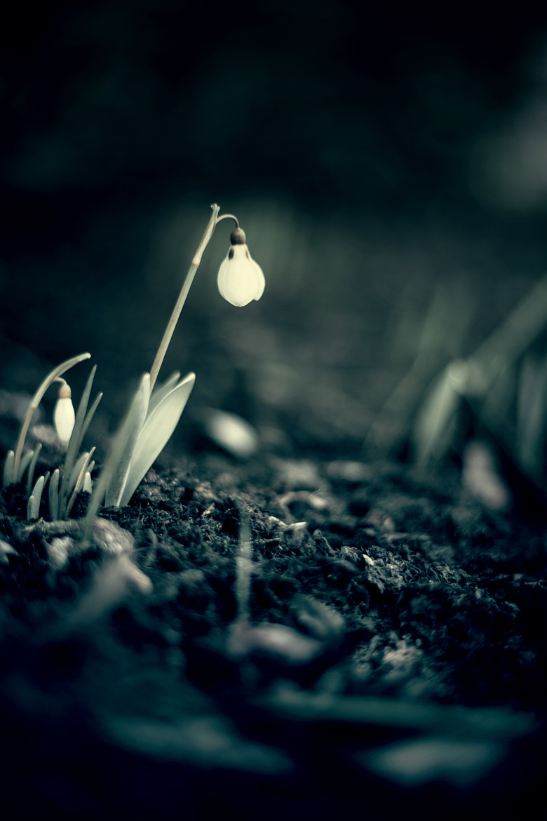 Photograph Snowdrops Secret by Lux Solidus on 500px