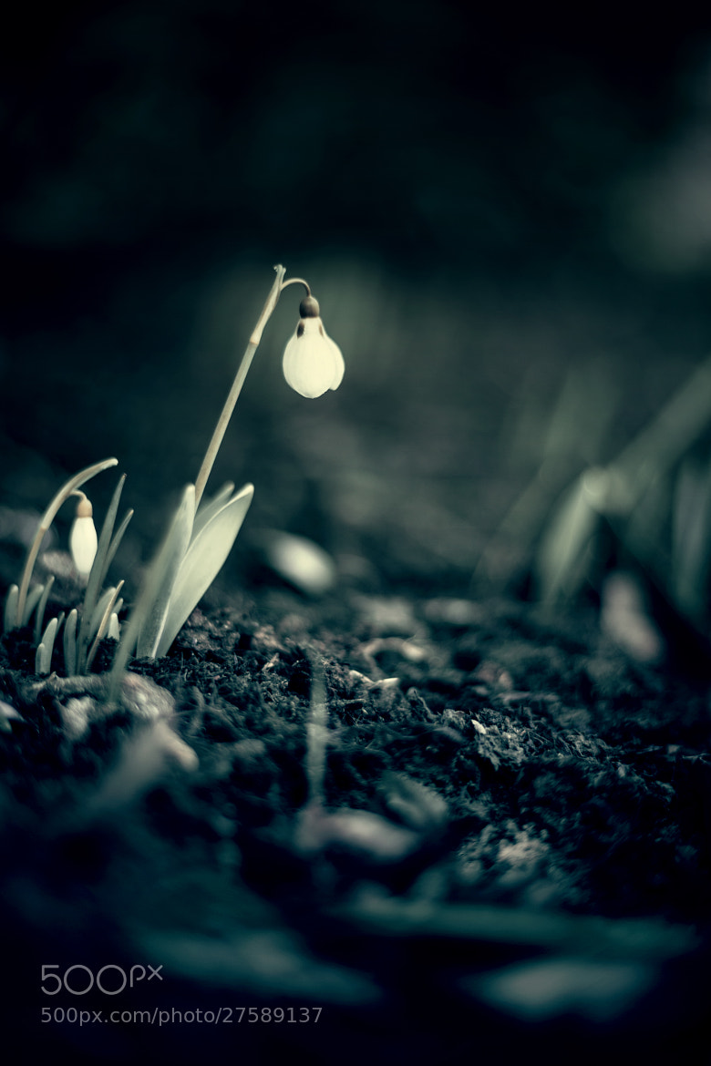 Photograph Snowdrops Secret by Smint One on 500px