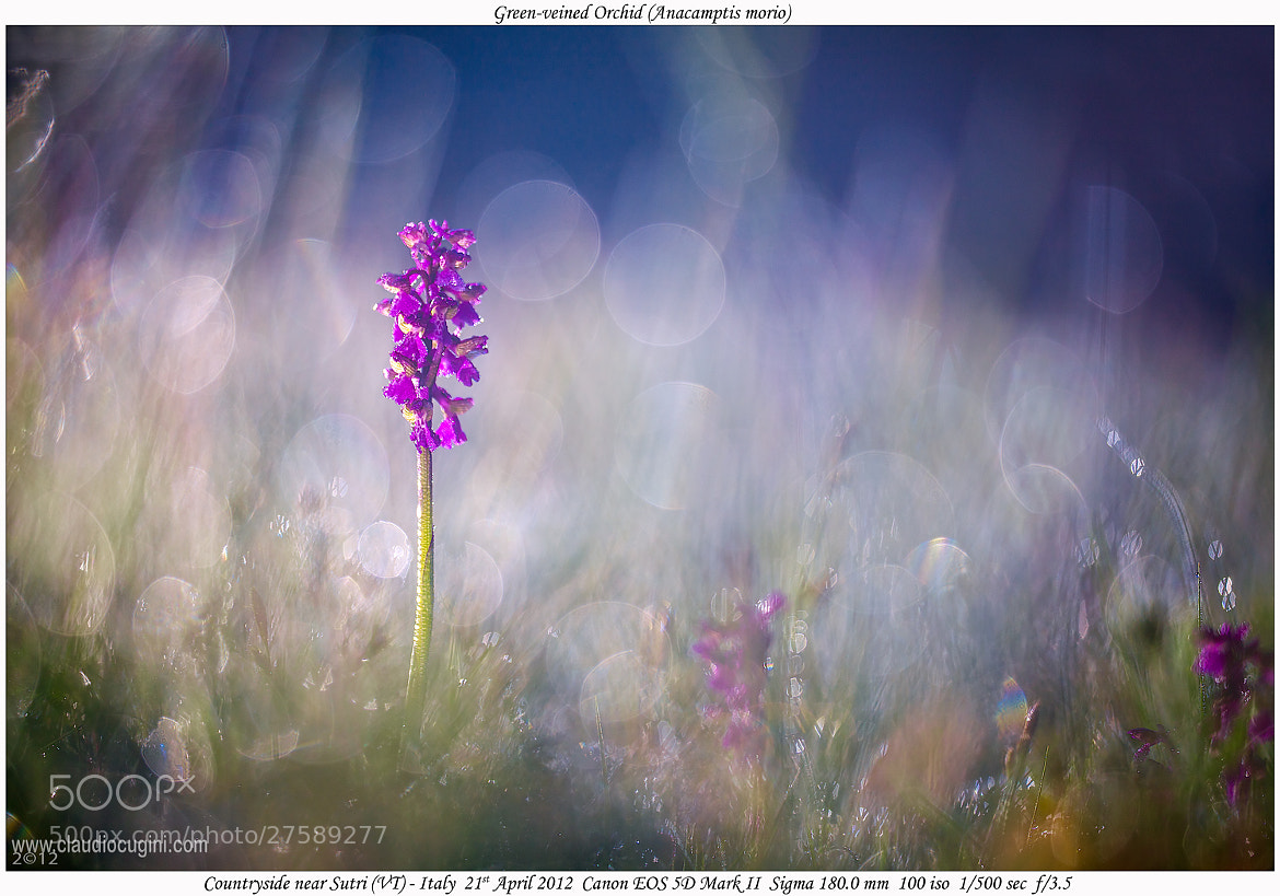 Photograph Green-veined Orchid (Anacamptis morio) by Claudio Cugini on 500px