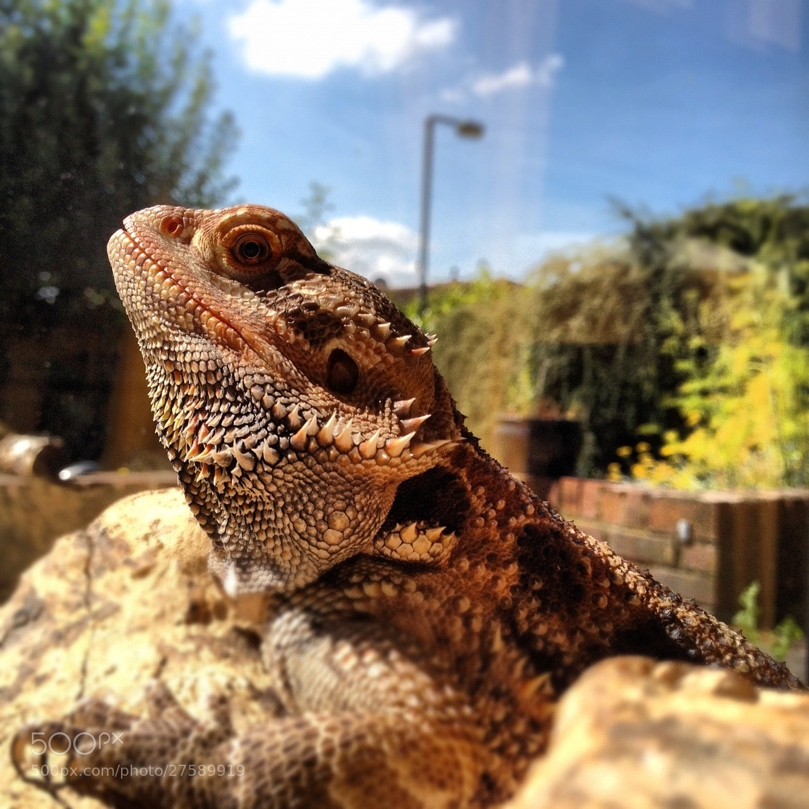 Photograph Lizard Portrait 3 by Dave Hornsby on 500px