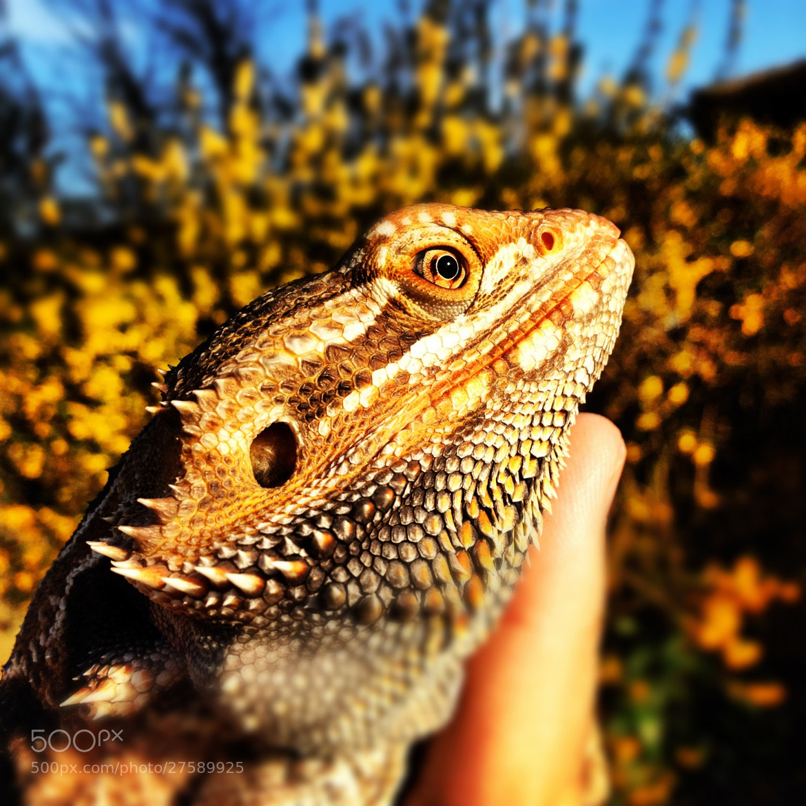 Photograph Lizard Portrait 2 by Dave Hornsby on 500px
