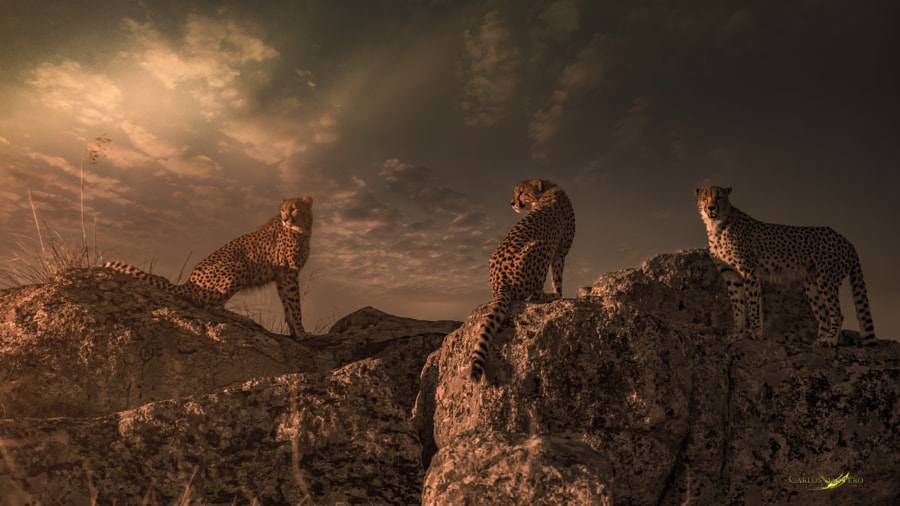 Tres Cheetas by Carlos Santero on 500px.com