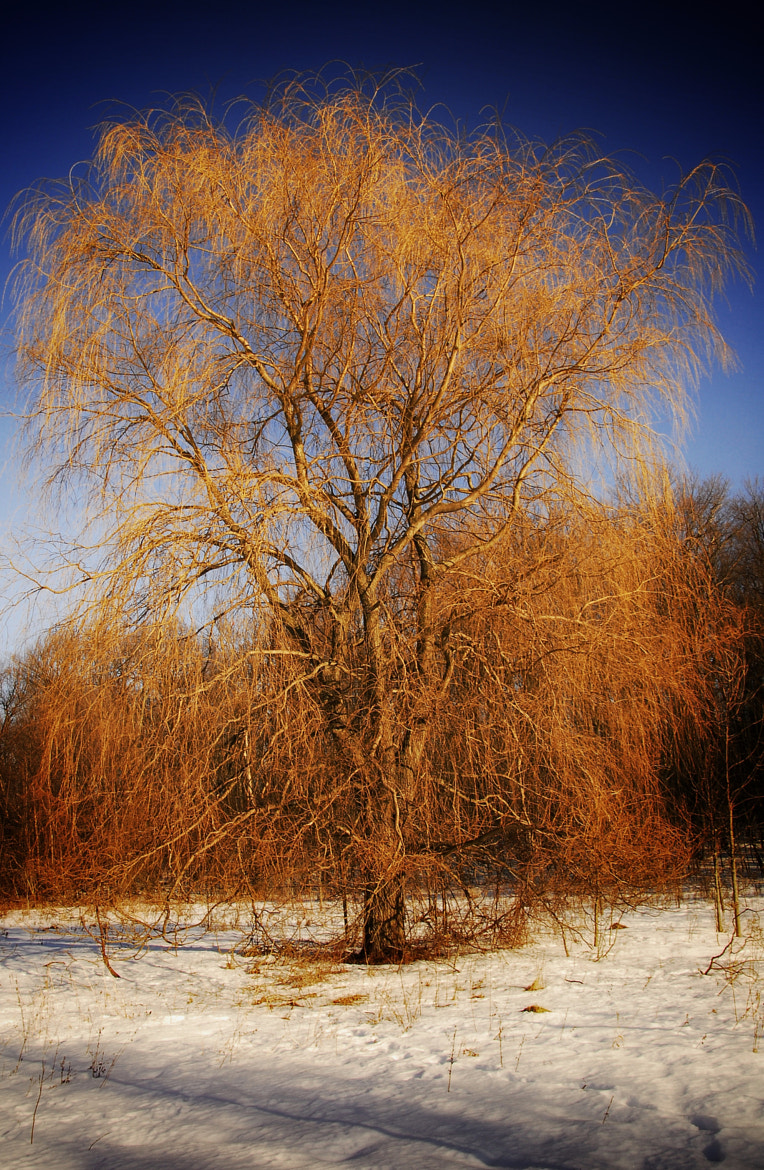 Photograph Winter Gold by John Barker on 500px