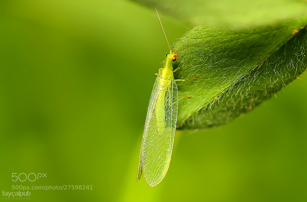 Photograph flying insect green by fay al mimoun on 500px - Insecte vert volant ...