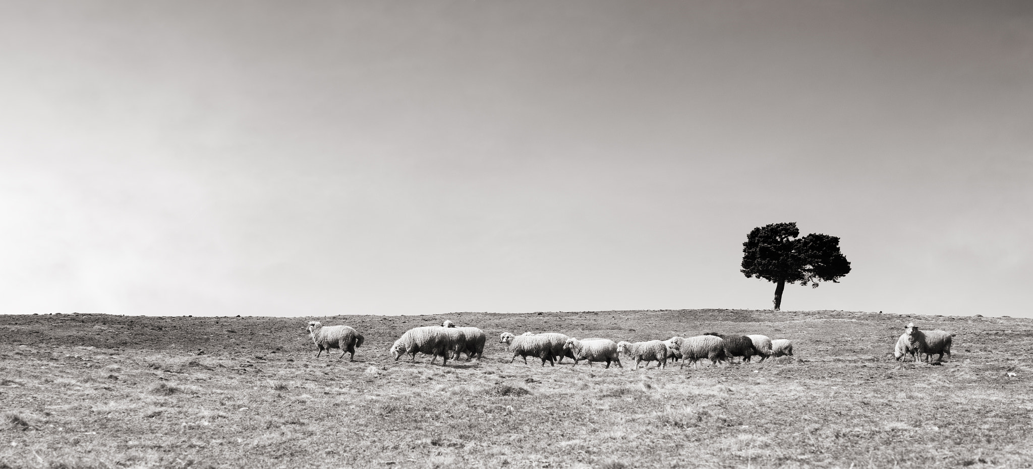 Photograph Sheep by Alex Neagoe on 500px