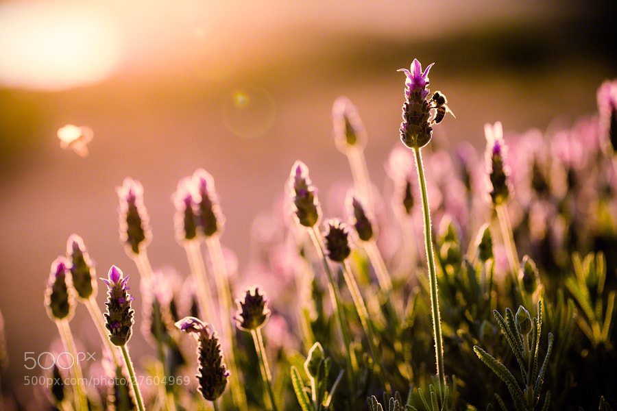 Photograph Lavender Bees by Nicole S. Young on 500px