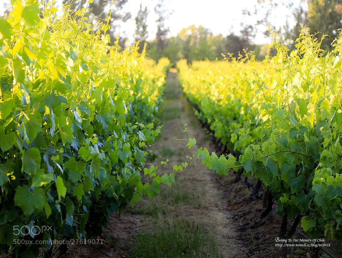 Photograph Vineyards in Chile by 憲龍 周 on 500px