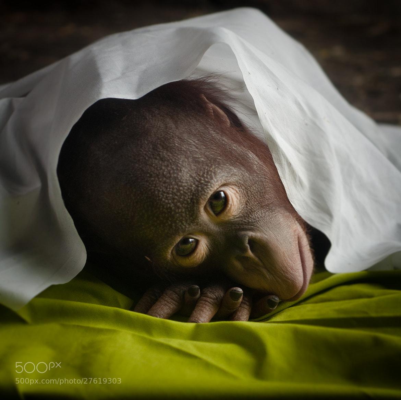 Photograph Ollie the Orangutan by Joshua Arlington on 500px