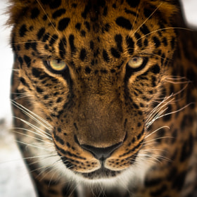 Amur Leopard by Joshua Arlington (JoshuaArlington)) on 500px.com