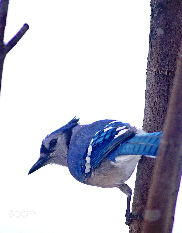 Photograph Bluejay by cherylorraine smith on 500px