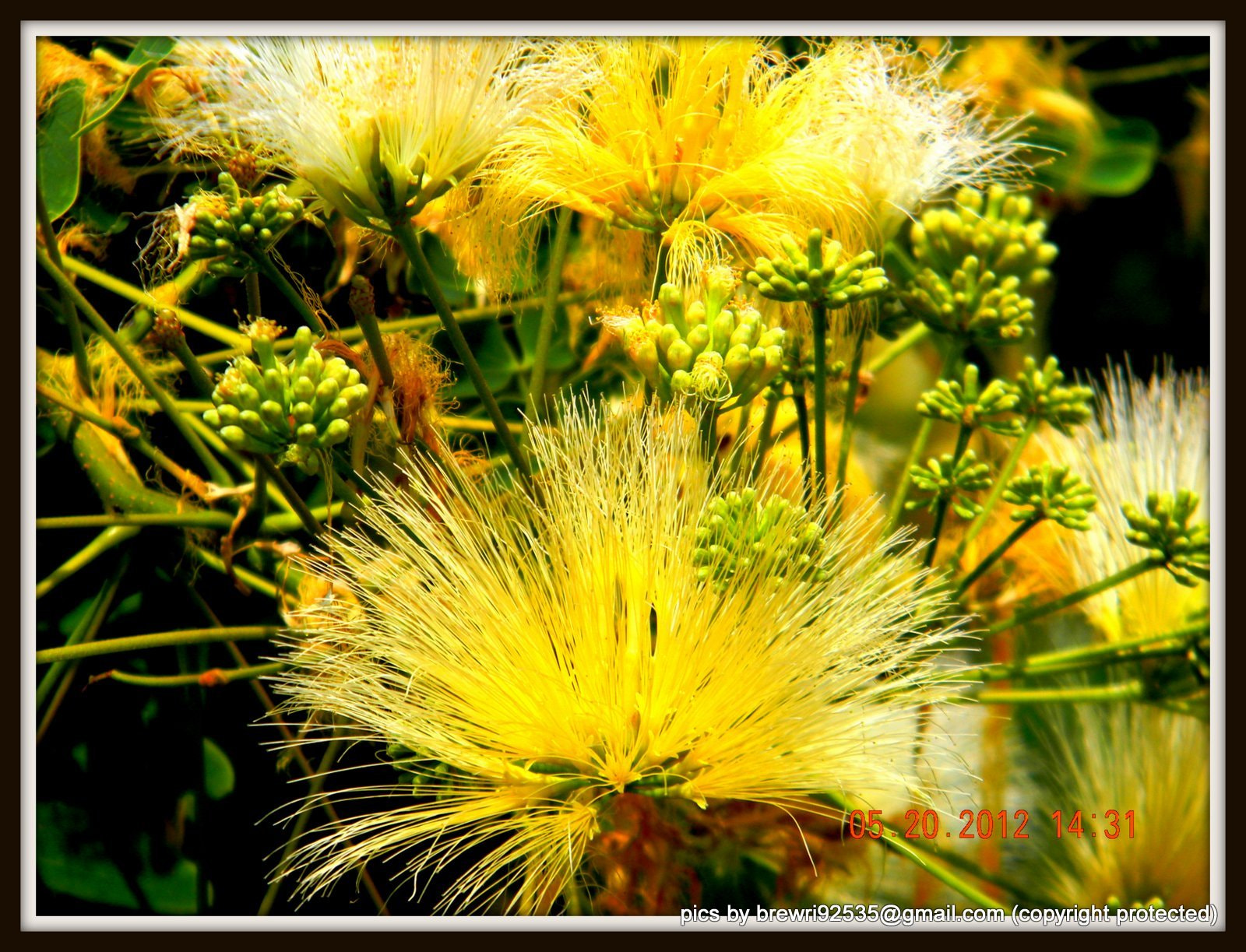 Photograph Mimosa flowers by Brenda Wright on 500px