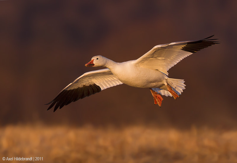 Photograph Snow Goose at Last Light by Axel Hildebrandt on 500px