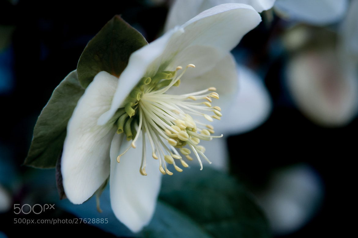 Photograph Helleborus Stamen by Ly Son Le on 500px