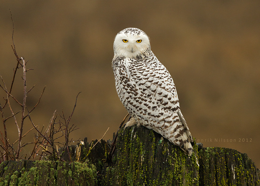 Photograph Posing Owl by Henrik Nilsson on 500px