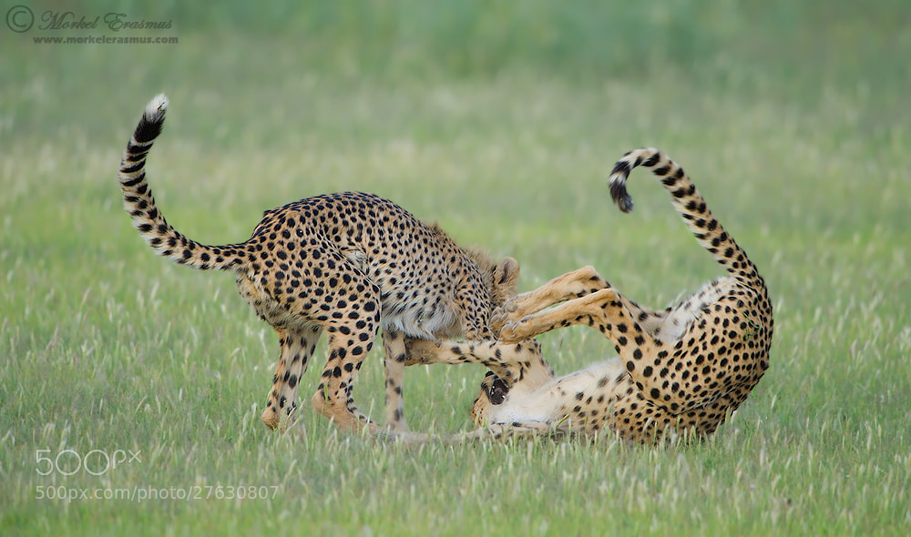 Photograph Catsplay by Morkel Erasmus on 500px