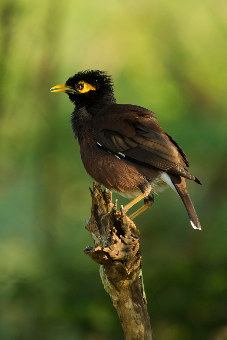 Photograph Common Myna by Milan Zygmunt on 500px