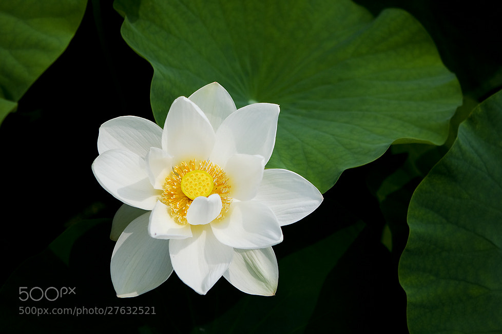 Photograph Yellow lotus by LEE INHWAN on 500px