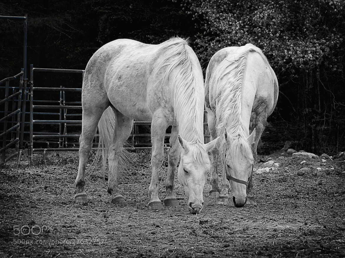 Photograph Pair of White Horses by Matt H on 500px
