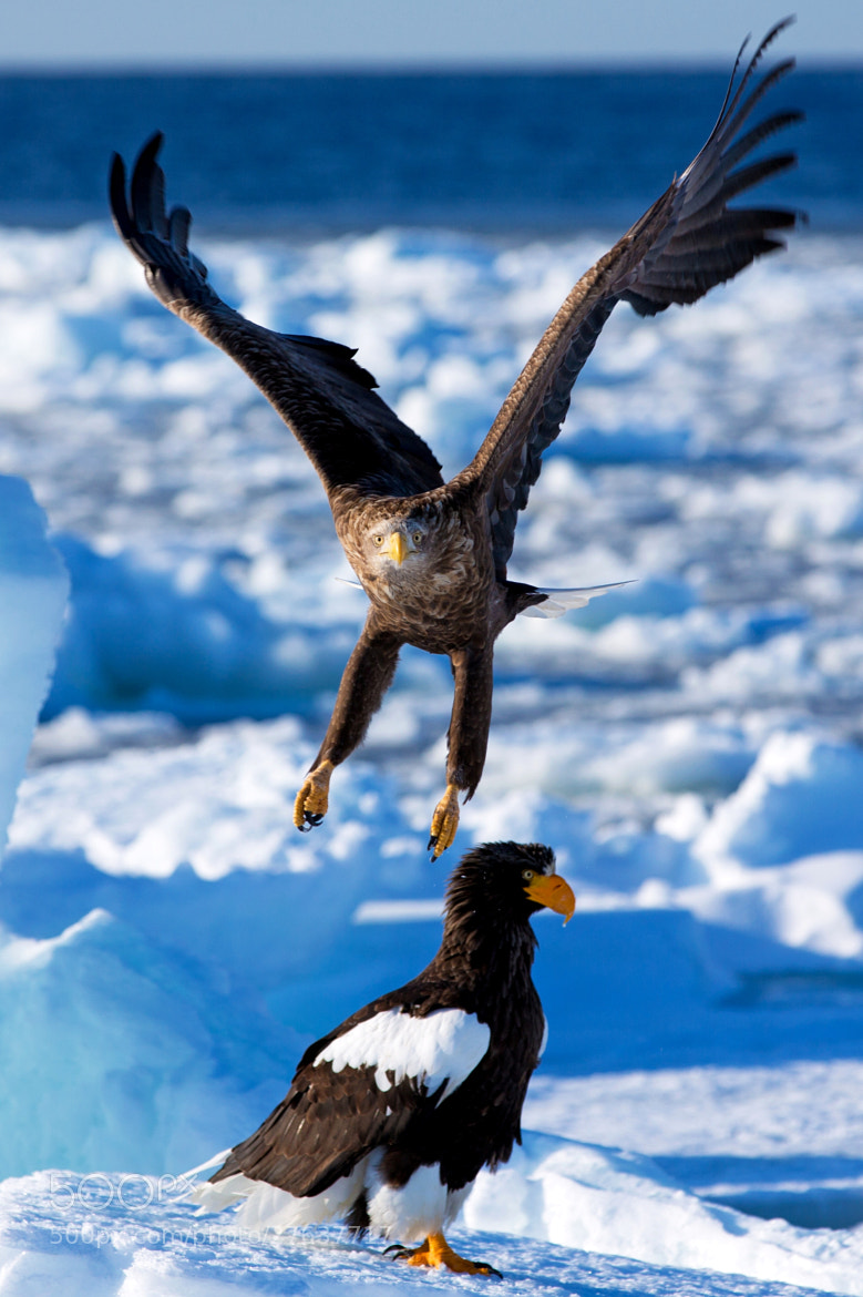 Photograph White tailed eagle & steller's sea eagle by Akiko F on 500px