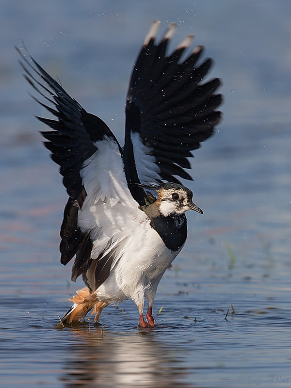 Photograph Northern Lapwing by Siegfried Noët on 500px