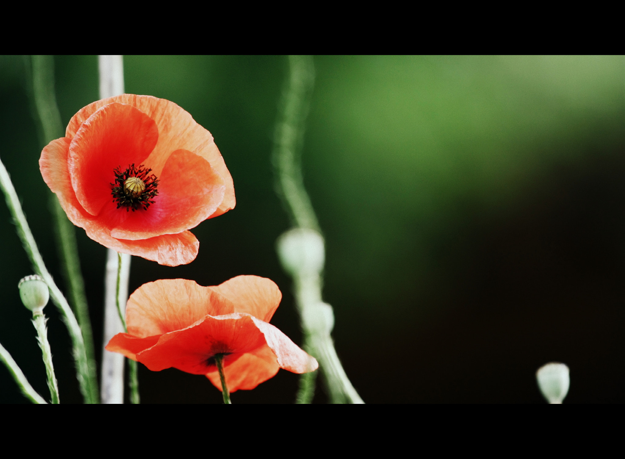 Photograph Poppy by Fruia on 500px