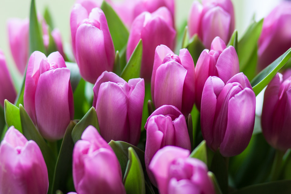 Photograph Tulips #2 by Andrea Schunert on 500px