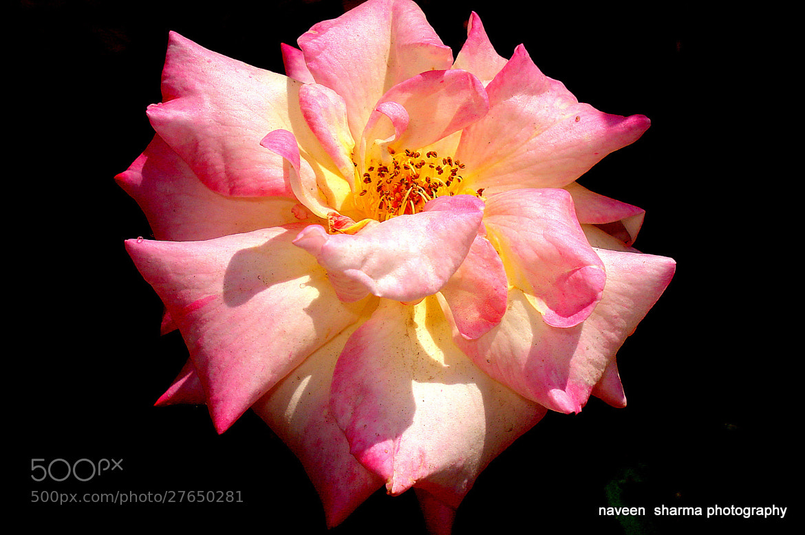 Photograph Rose for tonight by naveen sharma on 500px