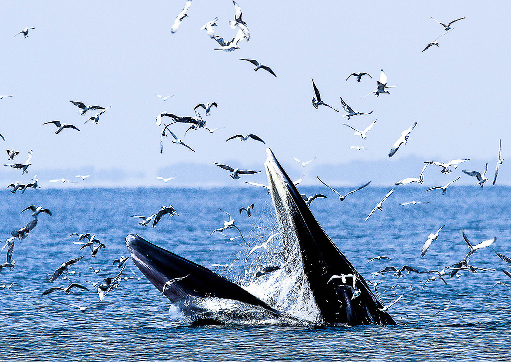 Photograph Bryde's Whale in Thailand by Too Ratana-u-bol on 500px