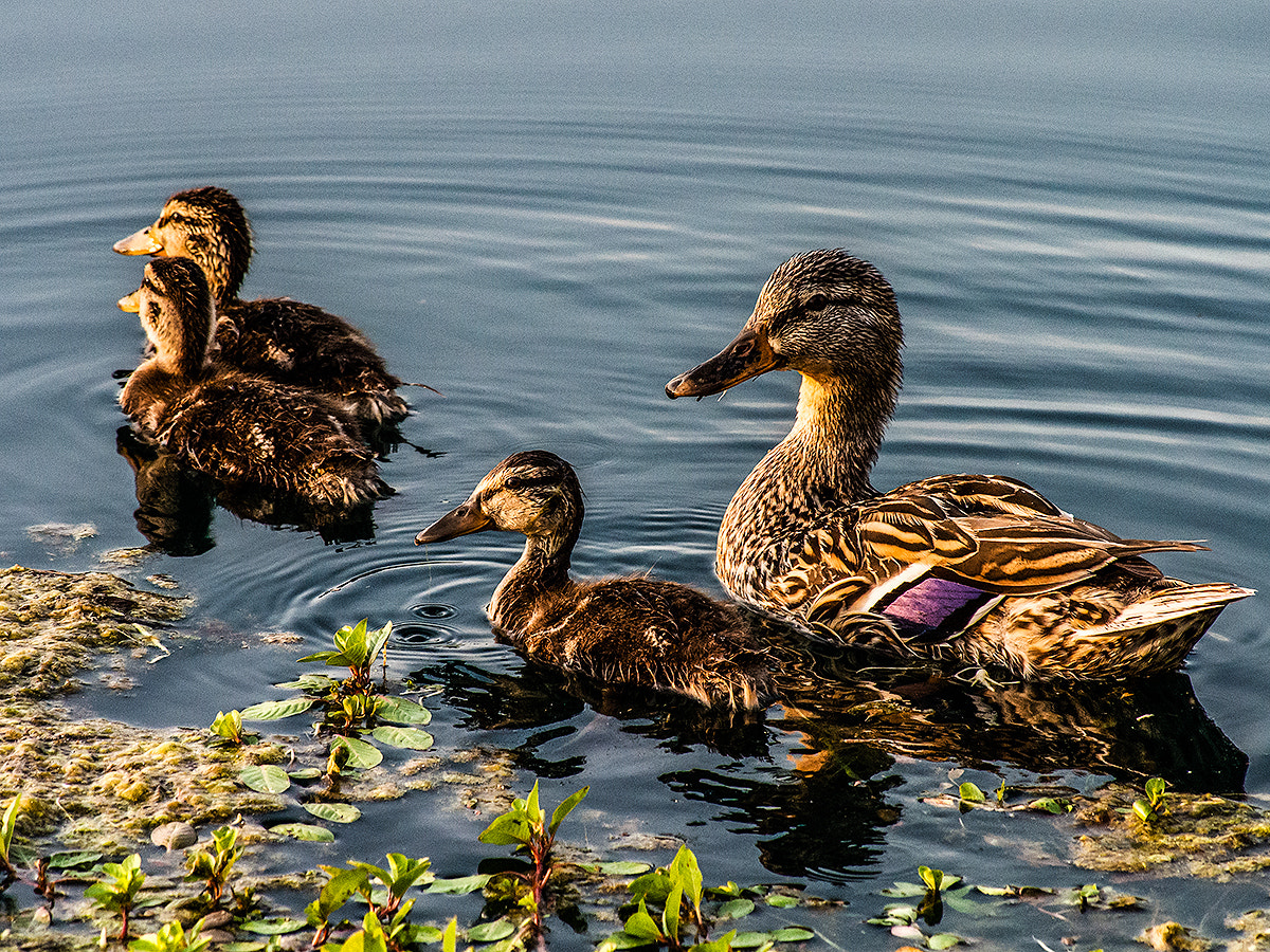 Photograph Mallard Family by Rick Head on 500px