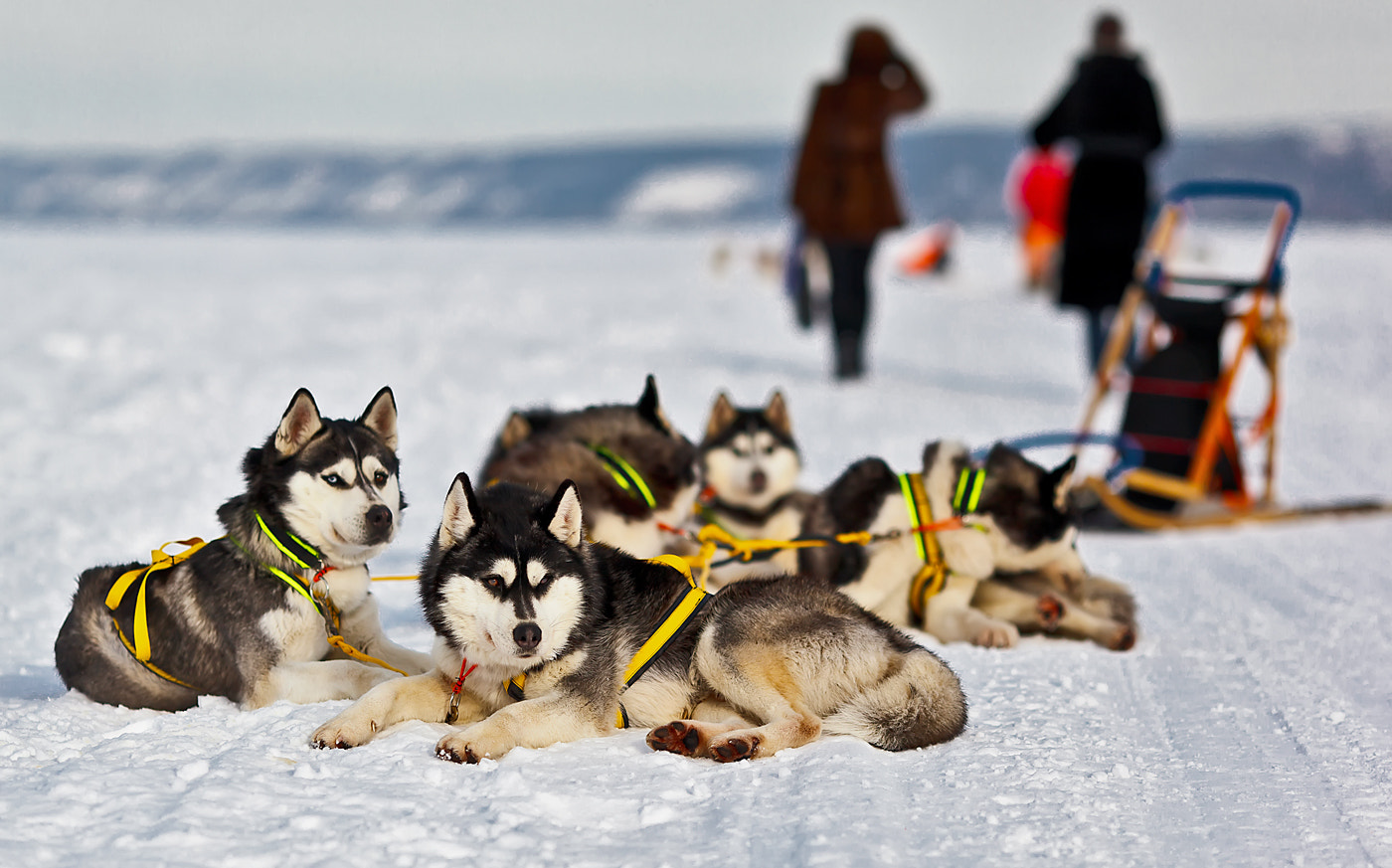 Photograph A sled dog in his element. by Сергей Щербатюк on 500px