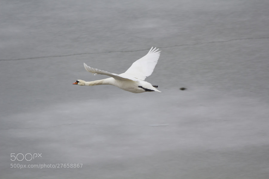 Swan by Kristoffer  (fotokoffe)) on 500px.com