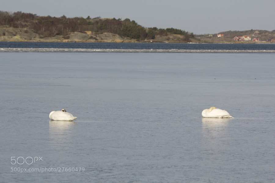 Two swans waiting for spring by Kristoffer  (fotokoffe)) on 500px.com