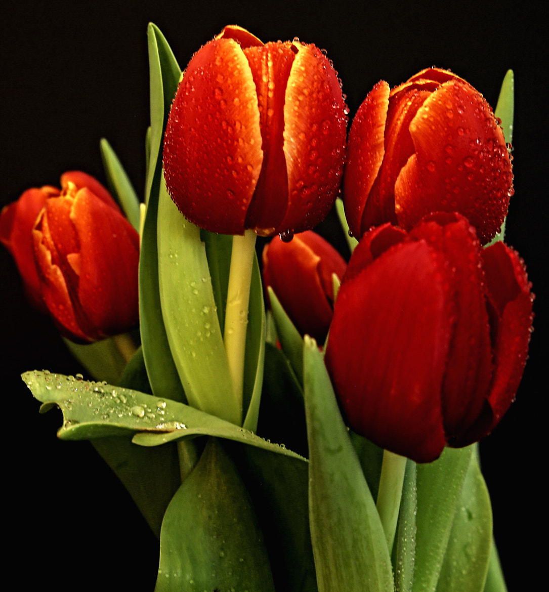 Photograph Tulips by Cris T on 500px
