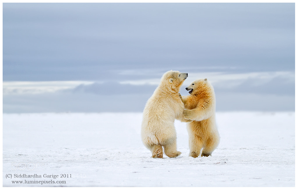 Photograph Arctic Dance - Polar bear cubs by Siddhardha Garige on 500px