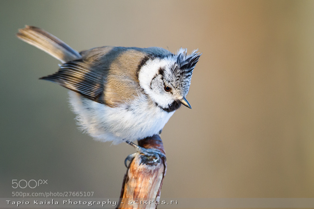 Photograph Little punk rocker of the forest - Crested Tit (Parus cristatus) by Tapio Kaisla on 500px