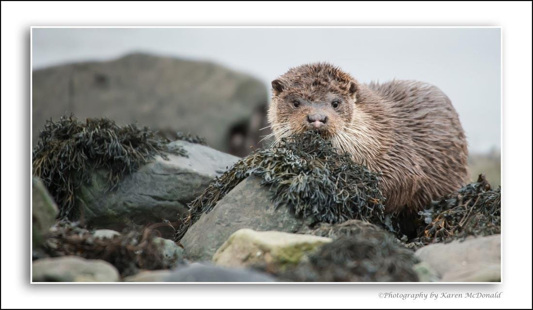 Photograph Wild Otter by Karen McDonald on 500px