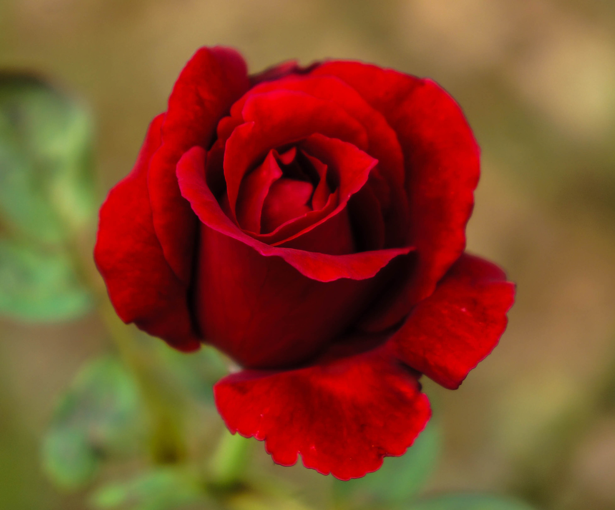 Photograph Roses are Red by Alyssa Paraggio on 500px