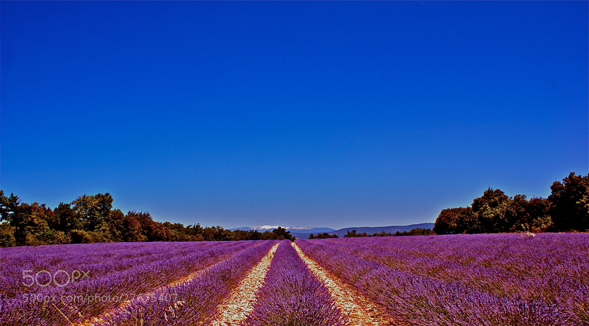 Photograph the lavender road! by Tet Cioco  on 500px