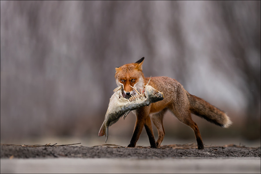lunch for fox by Georg Scharf on 500px.com
