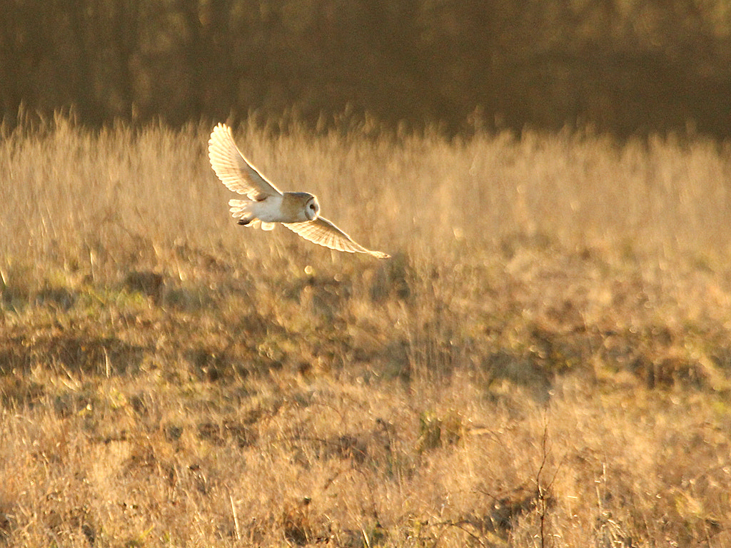 Photograph Barn Owl Hunting by Pat Walker on 500px
