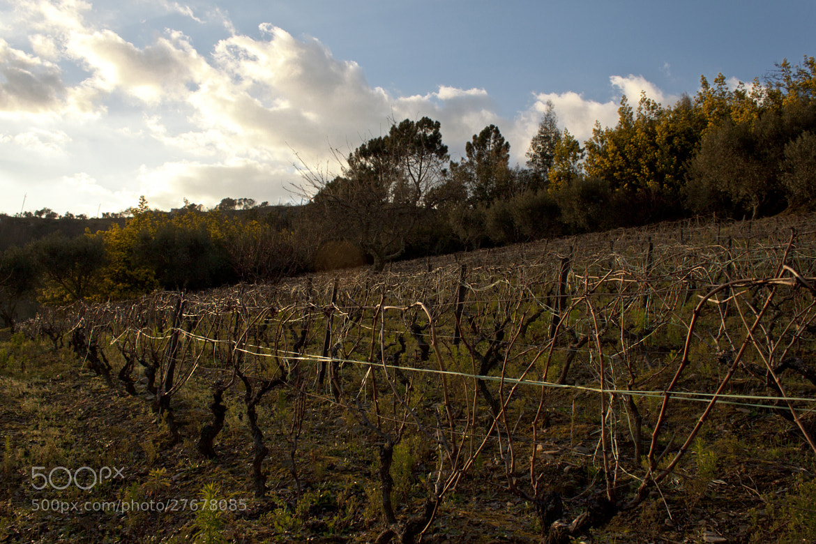 Photograph Vineyard by Luís Ferreira on 500px