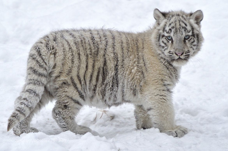 White Snow Tiger Cub by Josef Gelernter / 500px Cute Siberian Tiger Cubs
