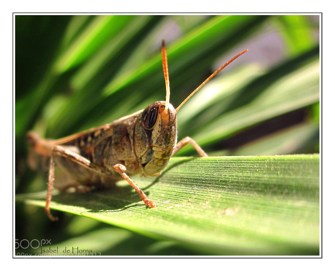 Photograph orange antennae grasshopper by Isabel de Horna on 500px