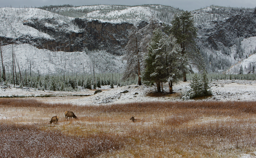 Photograph Elk in the Landscape by Kenny McLean on 500px