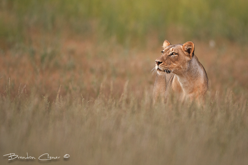 Photograph Stalking Lioness by Brendon Cremer on 500px