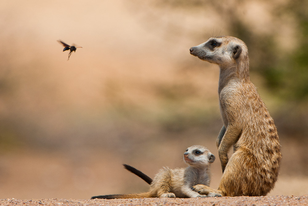 Photograph Meerkat moment by Shem Compion on 500px